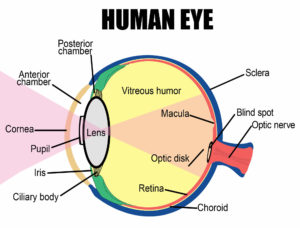 The Development of the Eye Throughout Your Life