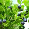 Bilberries and Bioflavonoids