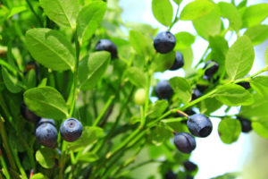 Bilberries and Bioflavonoids