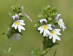 All About Eyebright